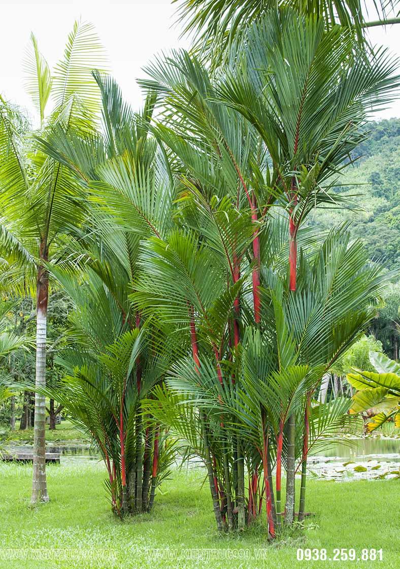 cây phong thủy cau đỏ trồng trước sân nhà