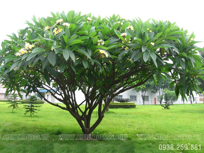 cây dứ thích hợp trồng trước chàu, miếu mạo, nghĩa trang