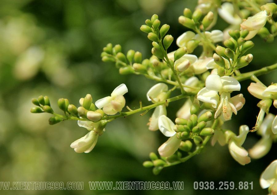Hoa hòe còn được dùng để nhuộm màu, hút tài lộc